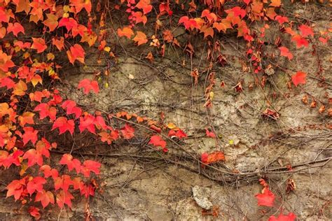 Climbing Plant With Red Leaves On A Stone Wall Stock