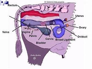 Uterine Torsion In Cattle