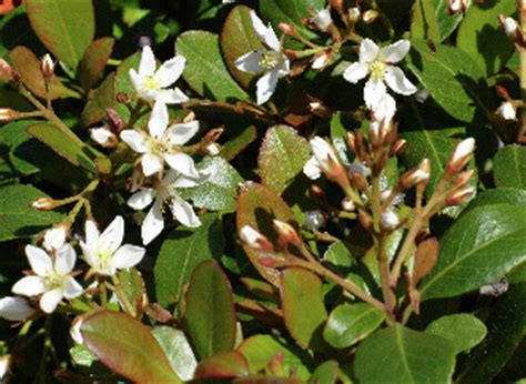Rhaphiolepis - Gardening in the Coastal Southeast