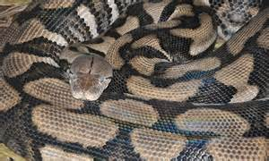 thelma the python has a virgin birth longest snake