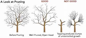 How To Prune Apple Trees