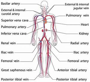 Anatomy And Function Of The Common Iliac Artery With Labeled Diagrams