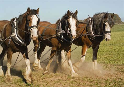 horse breeds clydesdale team riders australian owners characteristics scenics getty strip