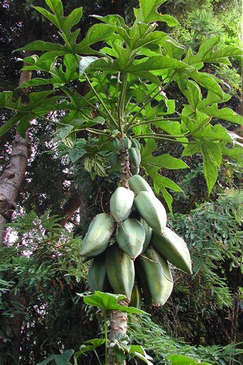 Babaco (champagne Fruit)  Vasconcellea ×heilbornii