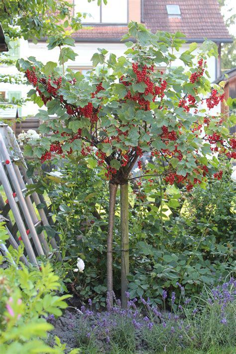 Garten Johannisbeeren Pflanzen by Johannisbeeren Hochstamm Ribest 174 Lisette 174 Lubera At