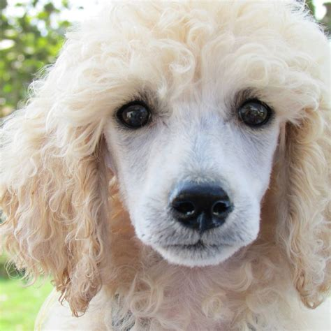 realities   poodle owners  accept