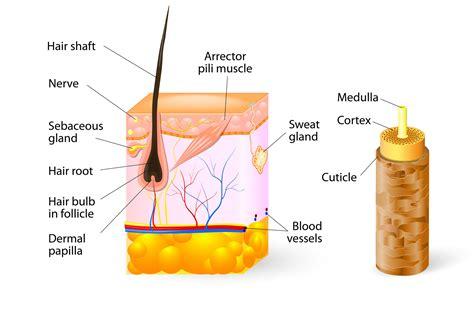 hair anatomy koreesa group