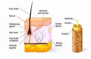 Hair Anatomy | Koreesa Group