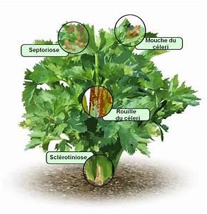 Culture Celeri Branche : c leris branche culture bio ~ Melissatoandfro.com Idées de Décoration