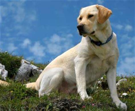 labrador chienlove76