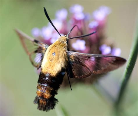 hummingbird moth original file 2 296 215 1 928 pixels file size 281 kb mime type image jpeg