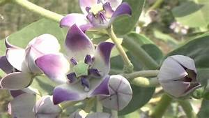Calotropis Gigantea  Crown Flower  Or Rui Or Mandar Holy Flower Of Hindus