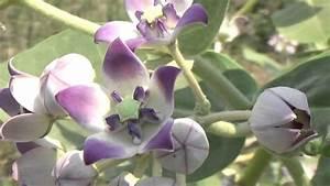 Calotropis Gigantea  Crown Flower  Or Rui Or Mandar Holy