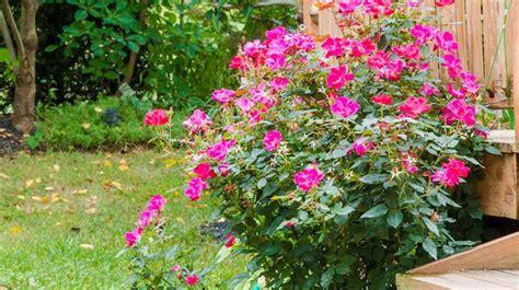 planter un rosier en racines c 244 t 233 maison
