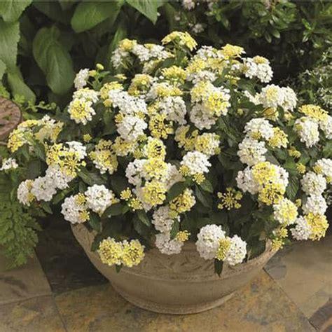beli disini lantana bunga putih tanaman hidup ibad garden
