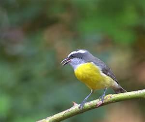 Oiseau Jaune Et Bleu : sucrier oiseau wikip dia ~ Melissatoandfro.com Idées de Décoration