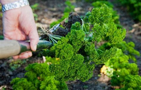 persil en pot entretien culture du persil en pot 28 images faire pousser du persil en pot comment cultiver le