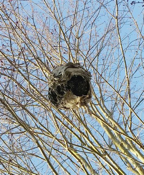 Pam's Backyard Chickens: The Backstory on Hornet Nests