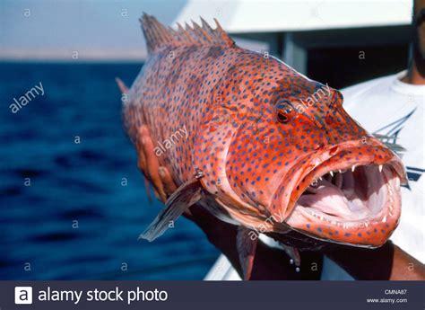 teeth fish sharp grouper coral scary reddish huge alamy skin