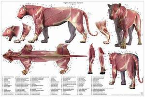 Tiger Anatomy Chart  U2013 Jun U0026 39 S Anatomy