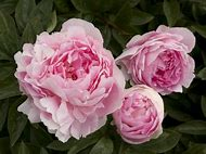 Landscaping with Peonies Roses