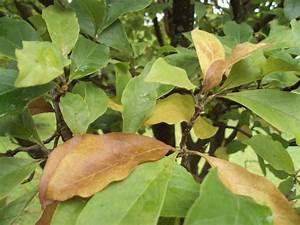 Magnolie Blätter Erfroren : magnolie mit braunen bl tter mein sch ner garten forum ~ Lizthompson.info Haus und Dekorationen