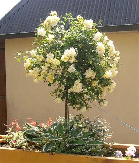 planter rosier grimpant en pot 28 images entretenir un rosier en pot achat de rosiers en