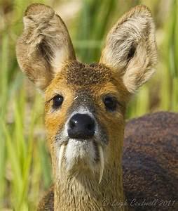 water deer Vampire Deer charliejane88 •