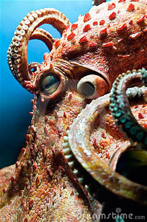 head   octopus stock  image