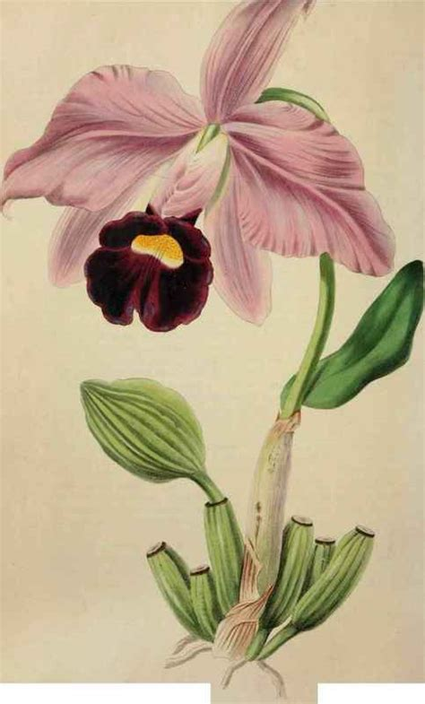 how to draw a cattleya flower cattleya orchids drawings