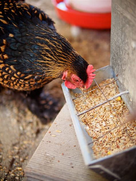 homemade  grain chicken feed updated   corn