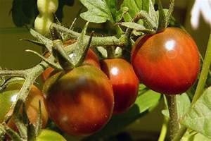 Plant Tomate Cerise : le fruit d 39 un plant myst re une tomate cerise noire ~ Melissatoandfro.com Idées de Décoration