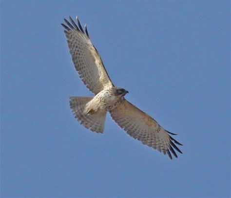 Red-shouldered Hawk (immature in flight) - Indiana Dunes