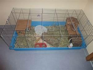 Cage A Cochon D Inde : le cochon d 39 inde d les animaux ~ Dallasstarsshop.com Idées de Décoration