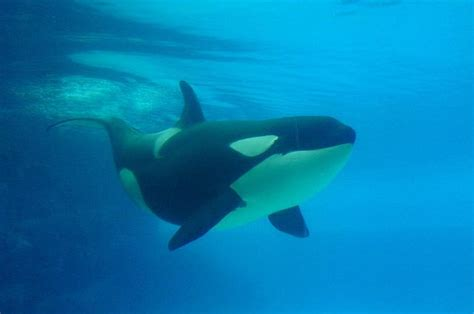Killer Whale Study Sheds Light On The 'grandmother