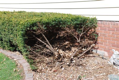 cutting bushes back top 28 cutting bushes back low maintenance easy grow one cherry tree lane information on