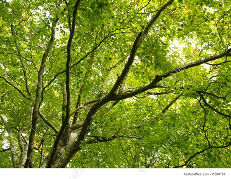 green tree leaves canopy stock picture   featurepics