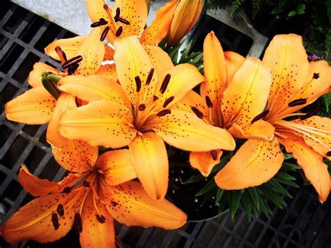 summer flower lilies