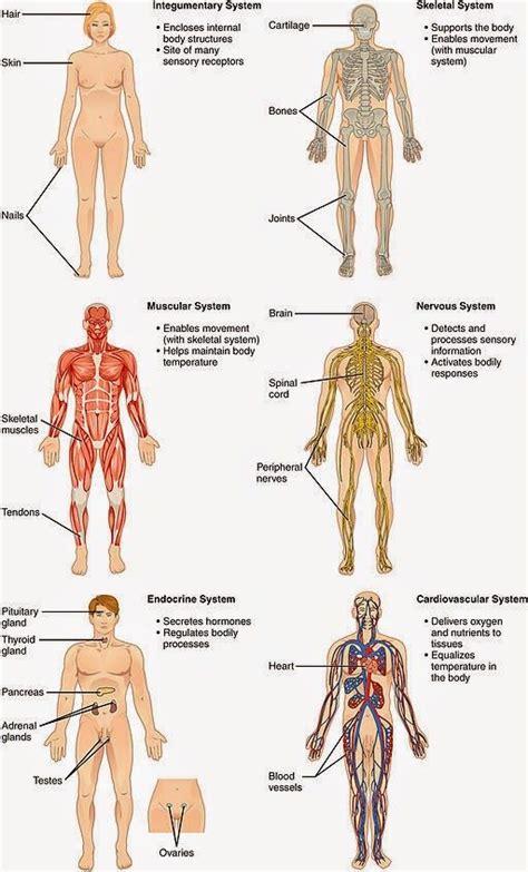 Sistemas del Cuerpo Humano anatomia :vvv Sistemas del