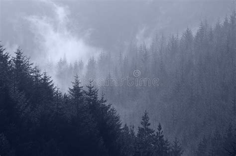 Mist Through Pine Tree Tops Royalty Free Stock Image
