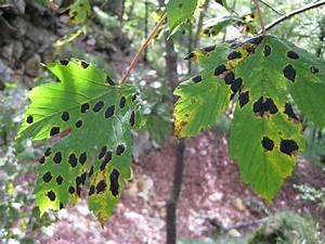 Ahorn Krankheiten Bilder : leoparden ahorn frage mich ob das eine krankheit ist ~ Frokenaadalensverden.com Haus und Dekorationen