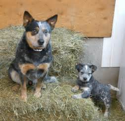 Blue Heeler Cattle Dog