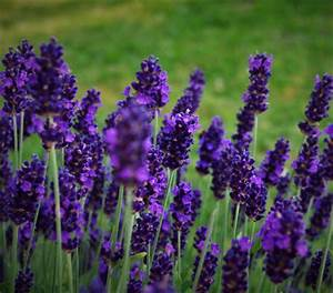 Pflege Von Lavendel : lavendel 39 dark surprise 39 dehner garten center ~ Lizthompson.info Haus und Dekorationen