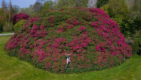 Uzziedējis Lielbritānijā dižākais rododendrs - deviņus ...