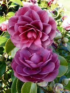 Camellia Japonica Winterhart : camellias 1 on pinterest pretty flowers evergreen shrubs and new zealand ~ Eleganceandgraceweddings.com Haus und Dekorationen