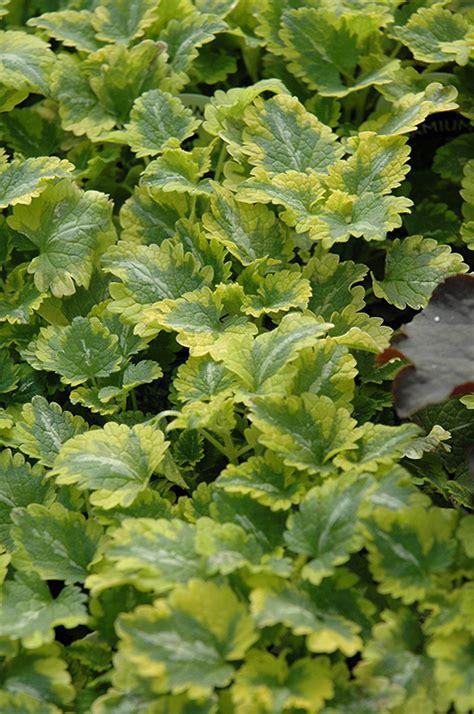 lamium greenaway anne greenaway spotted dead nettle lamium maculatum anne greenaway in wilmette chicago