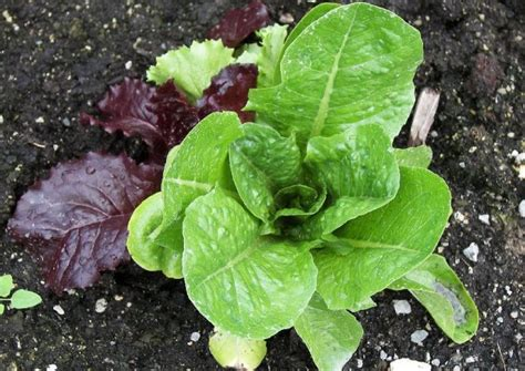 pfluecksalat pflanzen tipps zum anbau und zu den sorten