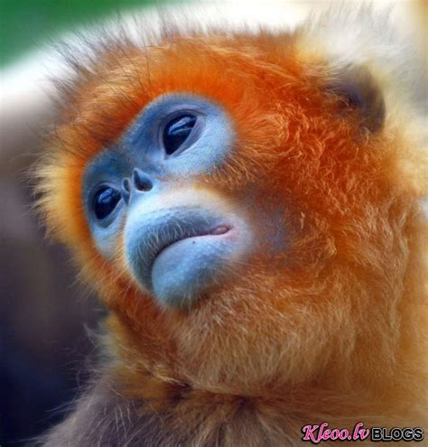Centālās Āfrikas zeltainie pērtiķi. - Dzīvnieki - Blogs - Kleoo.lv