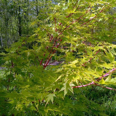 acer trees images acer palmatum sango kaku buy coral bark japanese maple trees