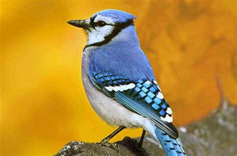 attracting blue jays colorful backyard songbirds birds